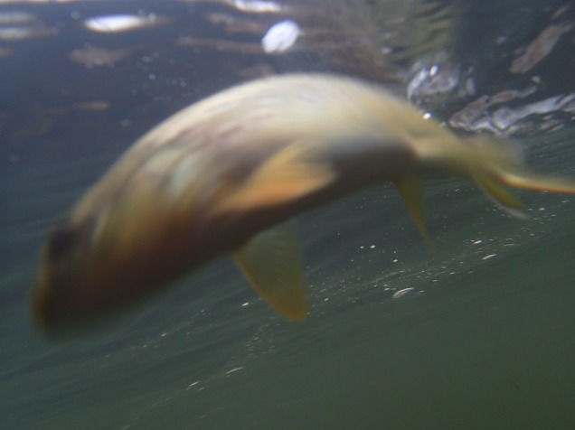 Blurry underwater trout