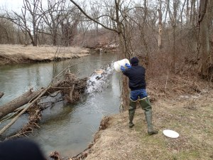 Trout stocking in action