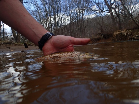 Morgan Run brown trout flyfishing