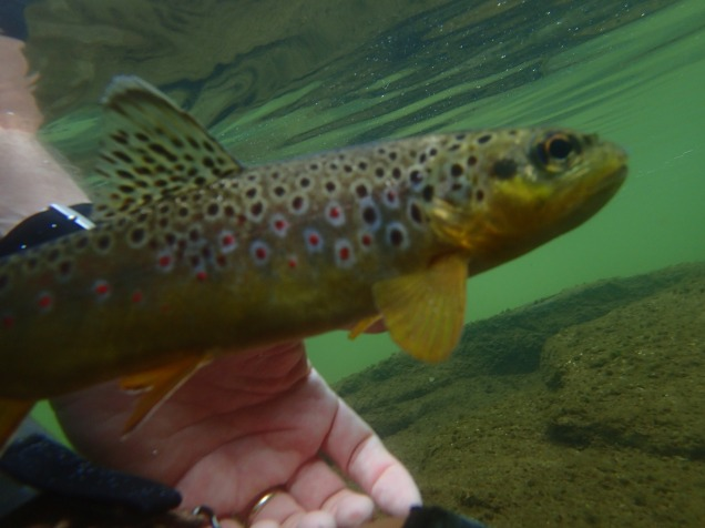 Confused trout flyfishing