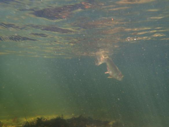 Rainbow trout flyfishing Gunpowder Fallls Md
