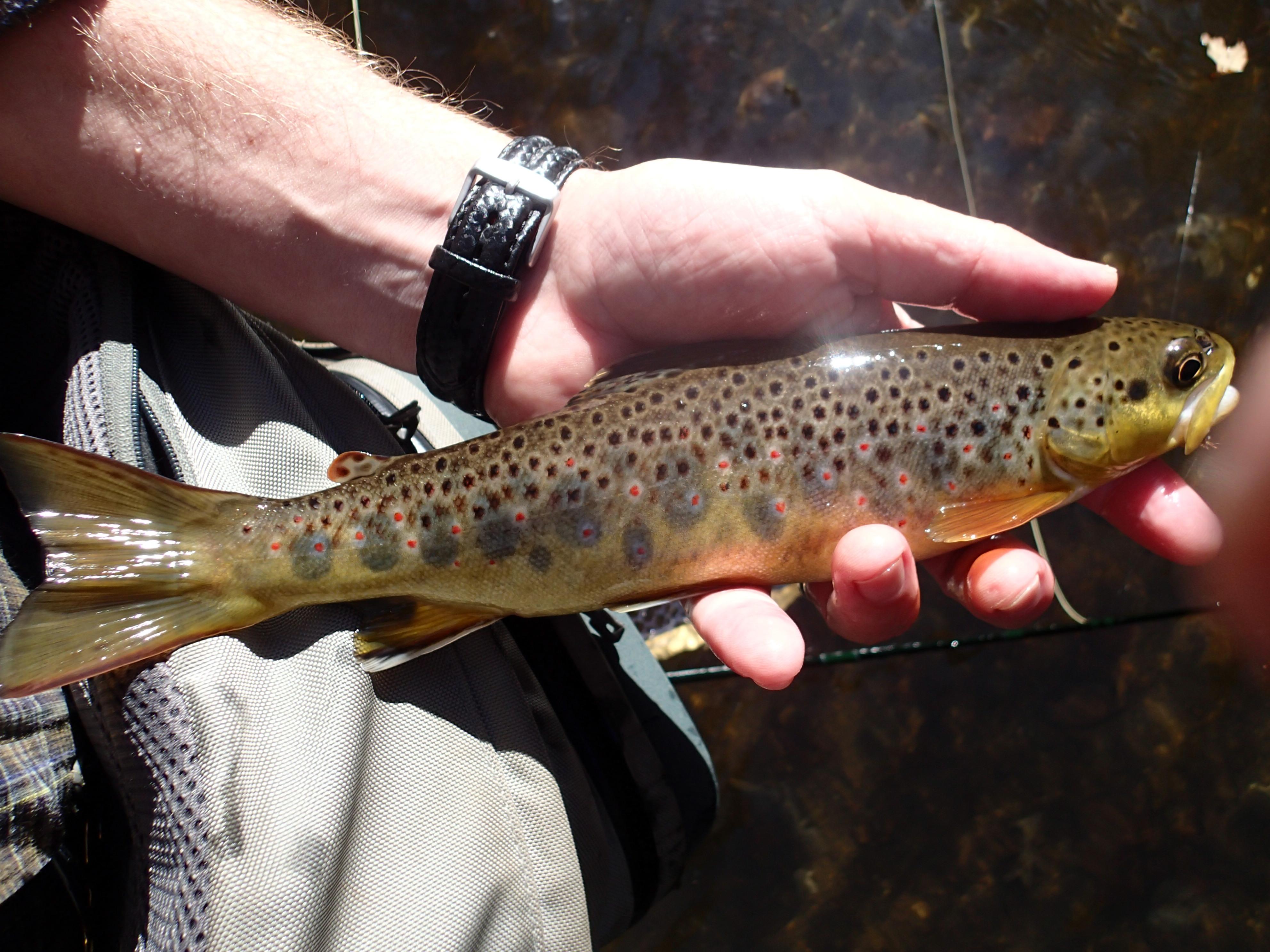 Gunpowder falls fishing report page 3 james kibler for Md trout fishing