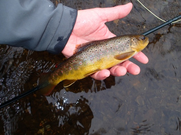 Brown Trout Flyfishing Maryland