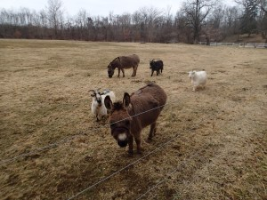 Mini Donkeys and goats on Beaver Creek