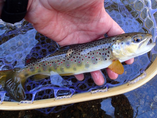 Brown trout caught flyfishing the Gunpowder