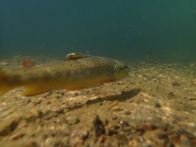 Underwater trout photo