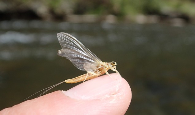 Sulphur mayfly on Maryland's Gunpowder River