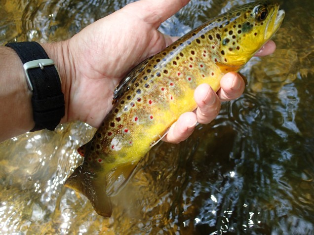 Brown trout caught flyfishing the Gunpowder in Maryland.